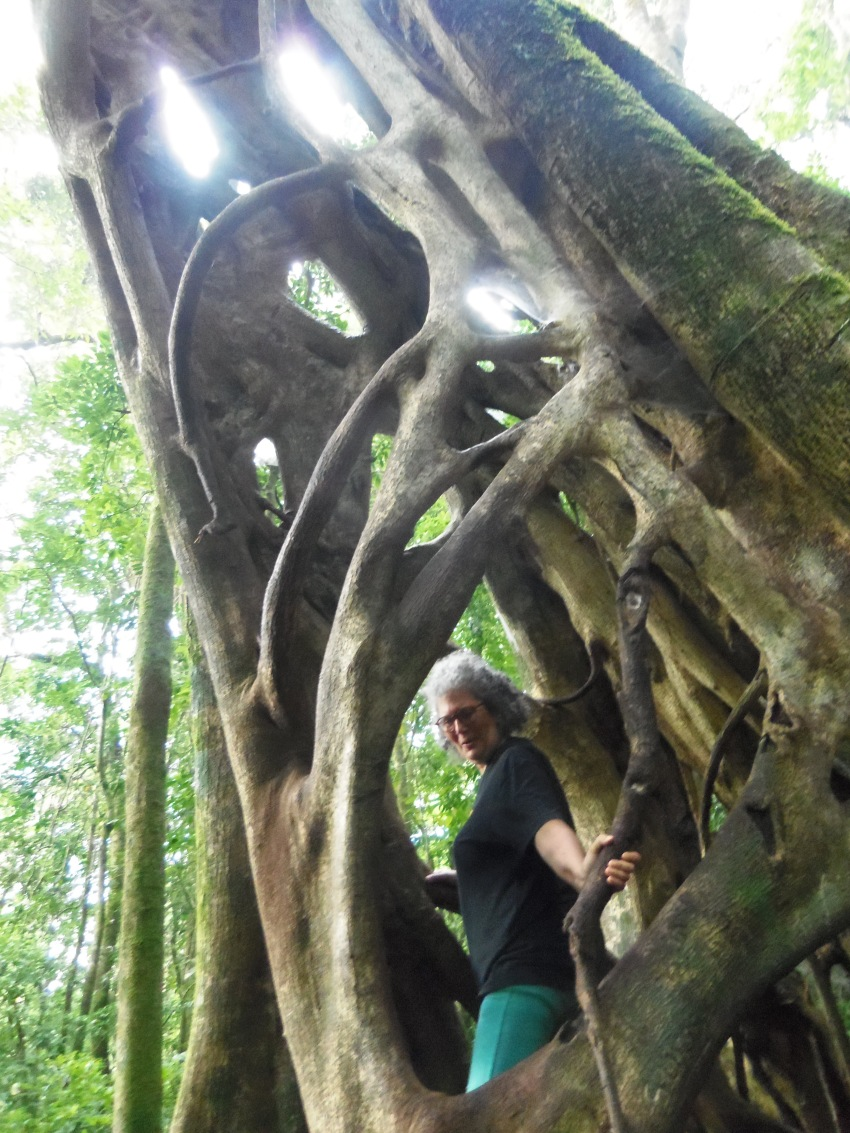 A strangler fig--a really large one!
