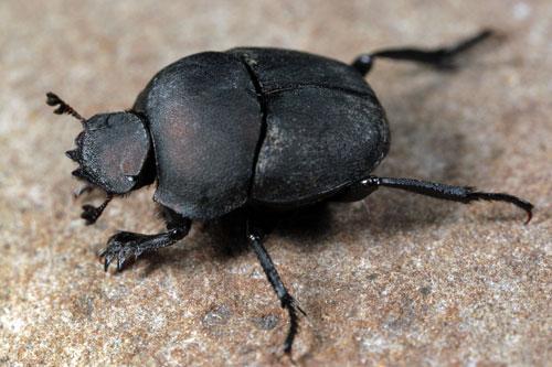 dung-beetle-1