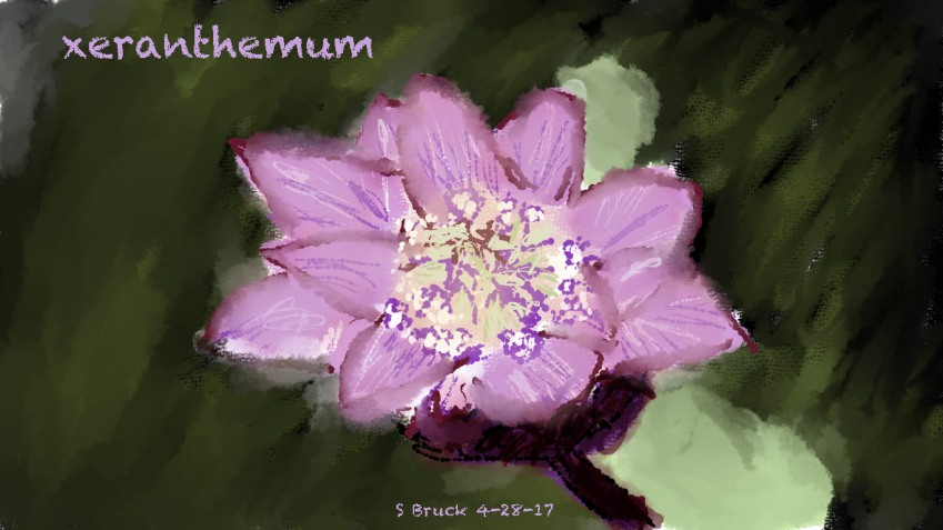 xeranthemum